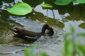 麻雀、鷺鷥、紅冠水雞~荷花池生態秀:g 057.JPG