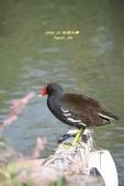 鳥類寫真:紅冠水雞、麻雀、綠繡眼、白頭翁、黑枕藍鶲、五色鳥:1786239279.jpg