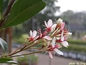 珠兒愛拍:低矮灌木:厚葉石斑木
