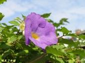紫色浪漫97.11:蒜香藤、立鶴花、翠蘆莉、天使花、鼠尾草、馬蘭、台灣馬藍、矮牽牛:1878380509.jpg