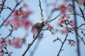 2013新竹麗池之櫻.中正紀念堂梅櫻:1443385373.jpg