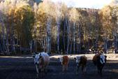 北疆金秋(3)喀納斯湖、禾木村:IMG_4142.JPG