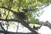 2012 鳥影~ 台灣藍鵲:1975213350.jpg