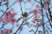 2013新竹麗池之櫻.中正紀念堂梅櫻:1443385374.jpg