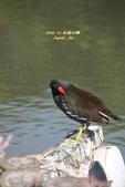 鳥類寫真:紅冠水雞、麻雀、綠繡眼、白頭翁、黑枕藍鶲、五色鳥:1786239280.jpg