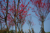 2012龍年風景(茶花山櫻花):1118855892.jpg