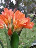 珠兒愛拍:其他植物:君子蘭