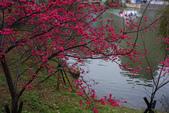 2013新竹麗池之櫻.中正紀念堂梅櫻:1443372228.jpg