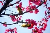2013新竹麗池之櫻.中正紀念堂梅櫻:1443385422.jpg