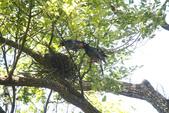 2012 鳥影~ 台灣藍鵲:1975213351.jpg