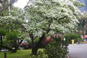 2012春暖花開~流蘇、野薔薇、加羅林魚木…..:1055388506.jpg