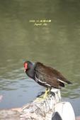 鳥類寫真:紅冠水雞、麻雀、綠繡眼、白頭翁、黑枕藍鶲、五色鳥:1786239281.jpg