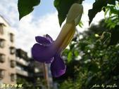 紫色浪漫97.11:蒜香藤、立鶴花、翠蘆莉、天使花、鼠尾草、馬蘭、台灣馬藍、矮牽牛:1878380511.jpg