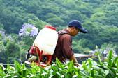 繽紛多彩繡球花~竹子湖:B 061.JPG