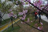 2013新竹麗池之櫻.中正紀念堂梅櫻:1443372229.jpg