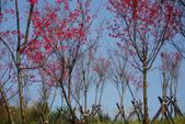 2012龍年風景(茶花山櫻花):1118855893.jpg