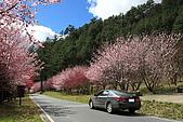 武陵櫻花:IMG_4554.jpg