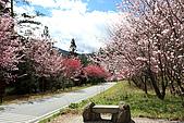 武陵櫻花:IMG_4559.jpg