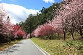 武陵櫻花:IMG_4565.jpg
