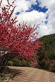 武陵櫻花:IMG_4568.jpg
