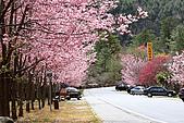 武陵櫻花:IMG_4601.jpg