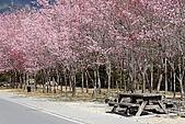 武陵櫻花:IMG_4606.jpg
