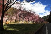 武陵櫻花:IMG_4445.jpg