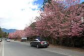武陵櫻花:IMG_4452.jpg