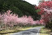 武陵櫻花:IMG_4537.jpg