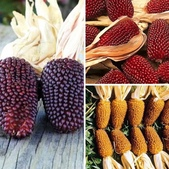 這是新品種草莓玉米:相簿封面