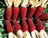 這是新品種草莓玉米:12193590_1482380915400722_8632132262141808592_n.jpg