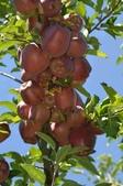 來自大自然的水果和蔬菜:11220834_1677194662495605_6466949737877572080_n.jpg