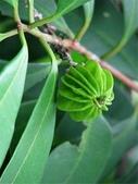 這些水果,哪怕您是一顆水果,先別說嘗,也許連見都未必見過這些奇異的水果!今天就給您長長見識吧!:9-產自巴西名為Eugenia multicostata的水果,長得像紫金鎚。.jpg