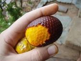 這些水果,哪怕您是一顆水果,先別說嘗,也許連見都未必見過這些奇異的水果!今天就給您長長見識吧!:4-秘魯Aguaje果,據說是女士們的最愛,因為吃它還能豐胸提臀!.jpg