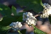 這些水果,哪怕您是一顆水果,先別說嘗,也許連見都未必見過這些奇異的水果!今天就給您長長見識吧!:8-白紫珠,漂亮的漿果,但很少人吃它….jpg