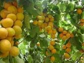 來自大自然的水果和蔬菜:12065710_1677194865828918_2372946238922682860_n.jpg