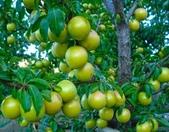 來自大自然的水果和蔬菜:12038433_1677194962495575_3001443019234806941_n.jpg