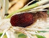 這是新品種草莓玉米:12190916_1482381865400627_741747411058143699_n.jpg