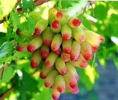 彩色手指葡萄好吃:12189563_1479831728988974_4066246606046067291_n.jpg
