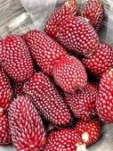 這是新品種草莓玉米:12193356_1482380612067419_2192045477553919452_n.jpg