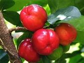這些水果,哪怕您是一顆水果,先別說嘗,也許連見都未必見過這些奇異的水果!今天就給您長長見識吧!:17-西印度櫻桃,富含維生素C,能治腹瀉與發燒,因此能做藥和保健品.jpg