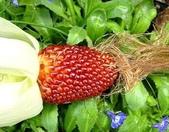 這是新品種草莓玉米:12193727_1482380815400732_2737455869064259310_n.jpg