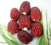 這是新品種草莓玉米:12193748_1482380962067384_6943657385002557426_n.jpg