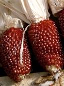 這是新品種草莓玉米:12193673_1482381032067377_3319384927416899743_n.jpg