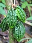 這些水果,哪怕您是一顆水果,先別說嘗,也許連見都未必見過這些奇異的水果!今天就給您長長見識吧!:7-來自巴拿馬叢林中的一種水果,沒試過,真不知味道如何….jpg