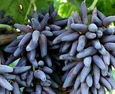 彩色手指葡萄好吃:12196113_1479831748988972_3271372942673547096_n.jpg