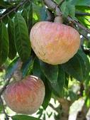 這些水果,哪怕您是一顆水果,先別說嘗,也許連見都未必見過這些奇異的水果!今天就給您長長見識吧!:5-牛心番荔枝,真像牛心嗎?總覺得更像蘋果….jpg