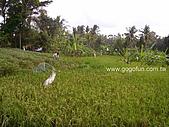 [活動] 峇里烏布單車遊梯田:結穗的稻田
