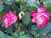 澄清湖的浪漫玫瑰花(蘭花):20200202_173646.jpg
