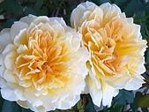 澄清湖的浪漫玫瑰花(蘭花):20200202_174517.jpg